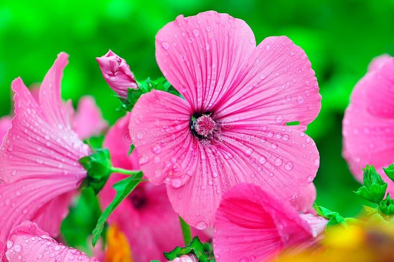 Fleur rose dans les baisses de la rosée photos libres de droits