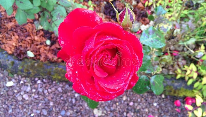 Fleur rose de beau rouge photos stock