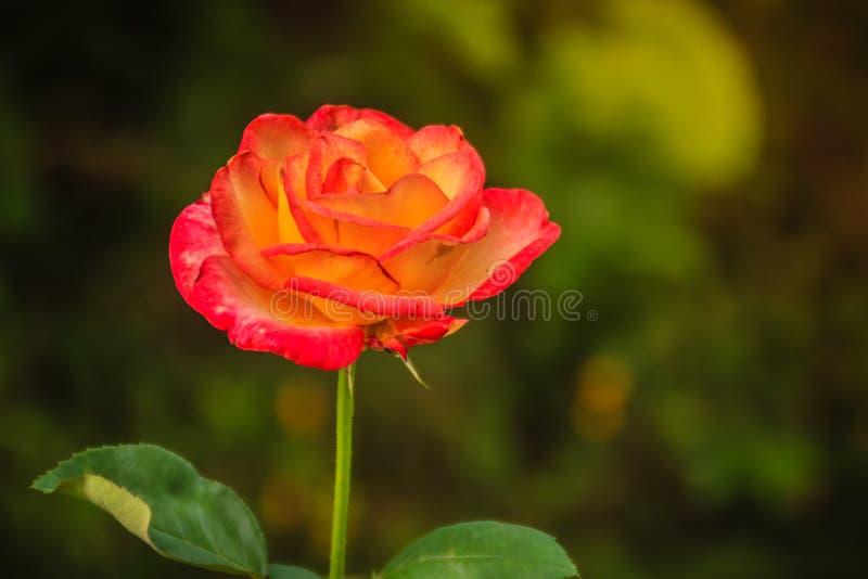 Fleur rose de belle orange simple sur la branche verte à garde photo stock