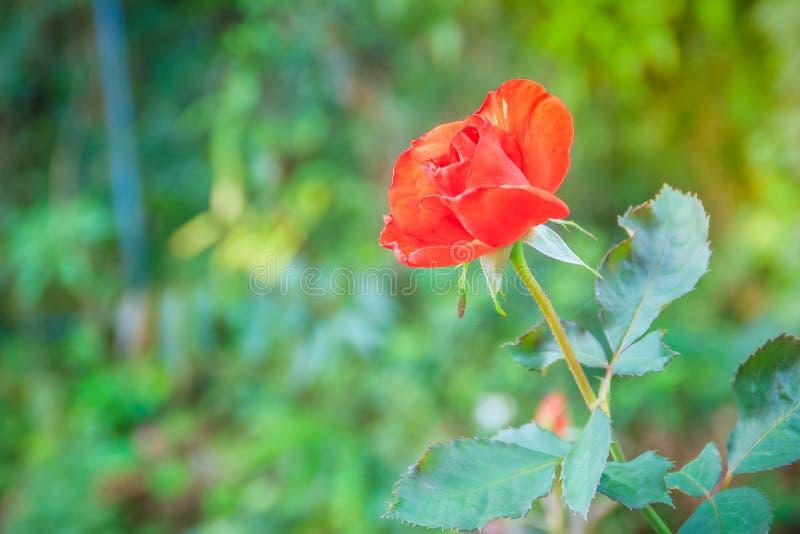 Fleur rose de belle orange simple sur la branche verte à garde photo libre de droits