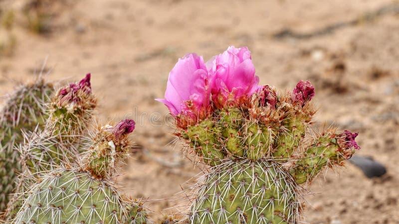 Fleur rose de cactus dans le sauvage photo libre de droits