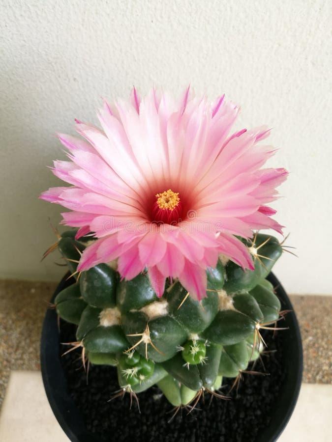 Fleur rose de cactus, plan rapproché images libres de droits