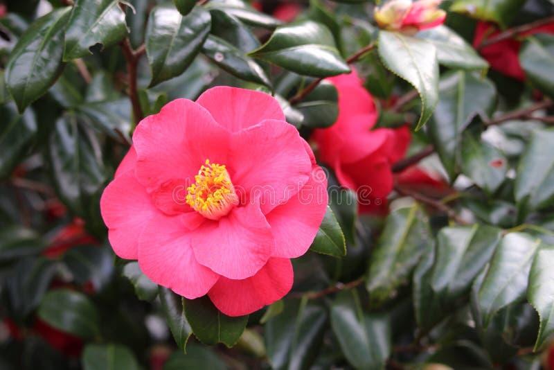 Fleur rose de camélia photographie stock