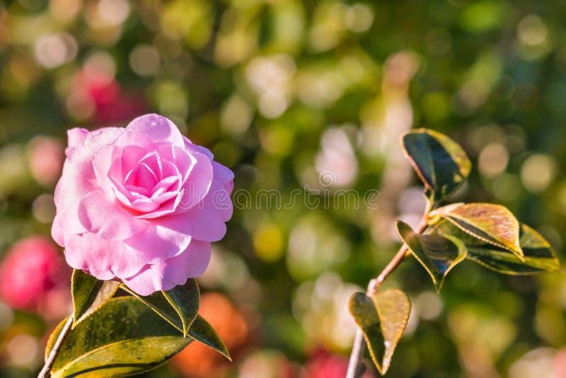 Fleur rose de camélia avec les gouttes de pluie et le fond brouillé images libres de droits