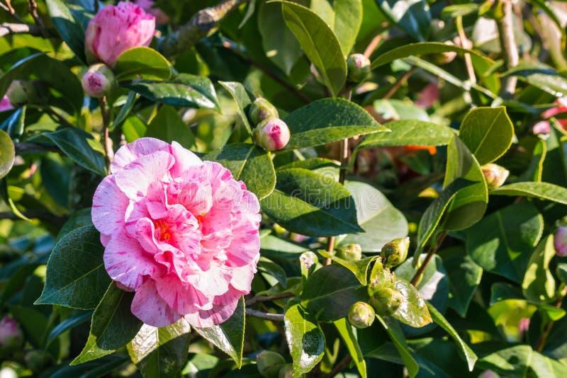 Fleur rose de camélia en fleur avec l'espace de copie sur la gauche images stock