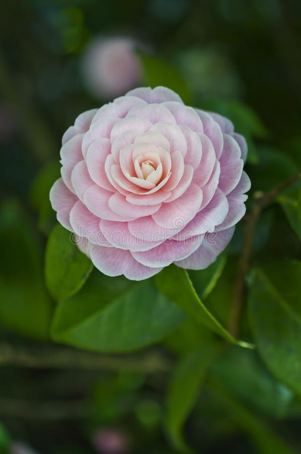 Fleur rose de camélia en pleine floraison photo libre de droits