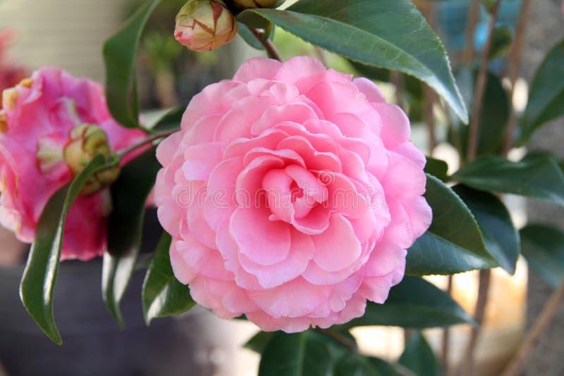 Fleur rose de camélia fleurissant au printemps photos stock