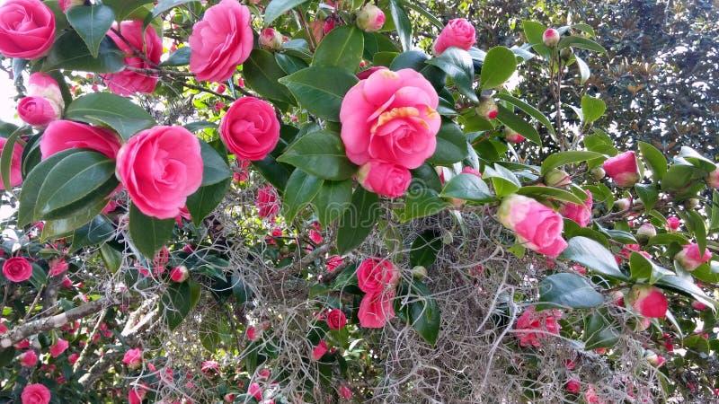 Fleur rose de camélias au printemps photographie stock