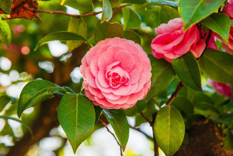 Fleur rose de cam?lia image stock