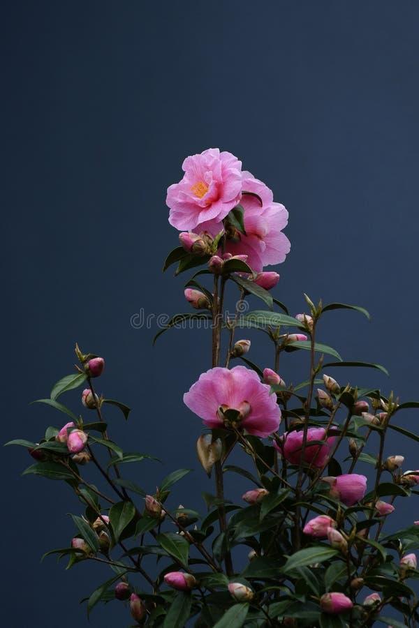 Fleur rose de cam?lia fleurissant dans le jardin photographie stock