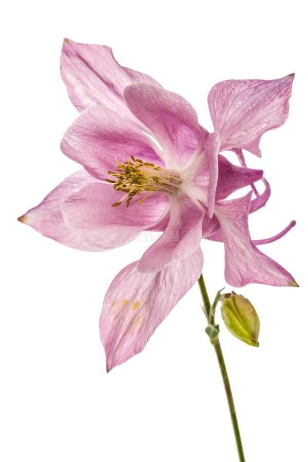 Fleur rose de captation, lat Ancolie, d'isolement sur le dos de blanc images stock