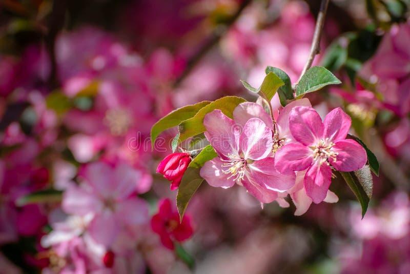 Fleur rose de fleur de cerise photographie stock libre de droits