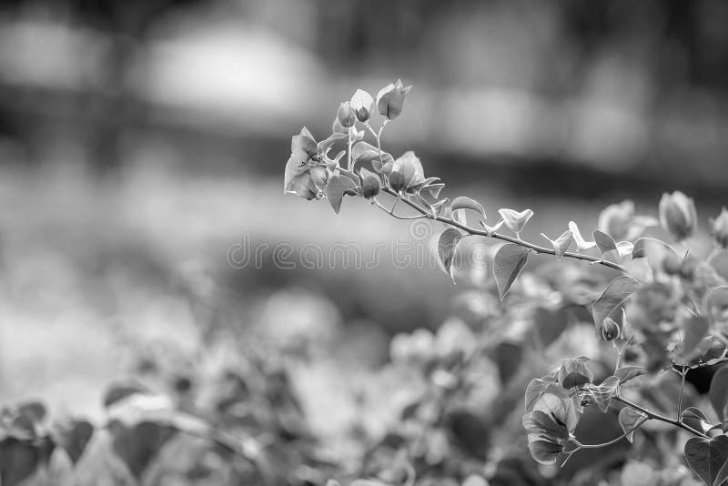 Fleur rose de Choisy de glabra de bouganvillée images libres de droits