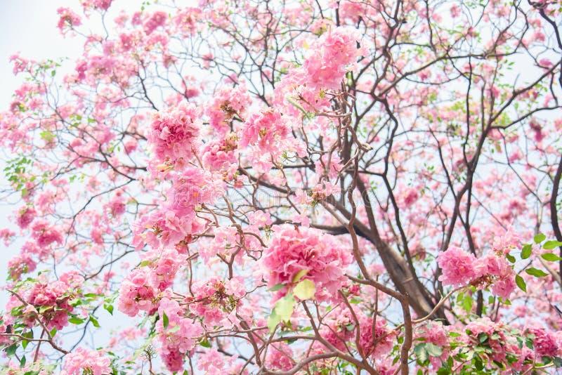 Fleur rose de Chompoo Pantip de fleur en Thaïlande, Sakura thaïlandais avec le fond doux, fond photographie stock libre de droits