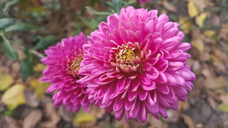 Fleur rose de chrysanthème photographie stock