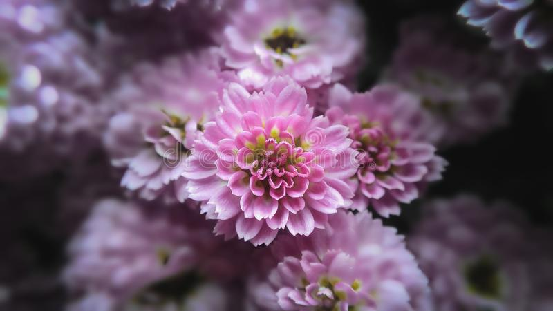 Fleur rose de chrysanthème photos libres de droits