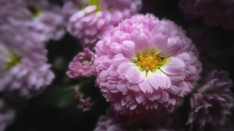 Fleur rose de chrysanthème photographie stock libre de droits