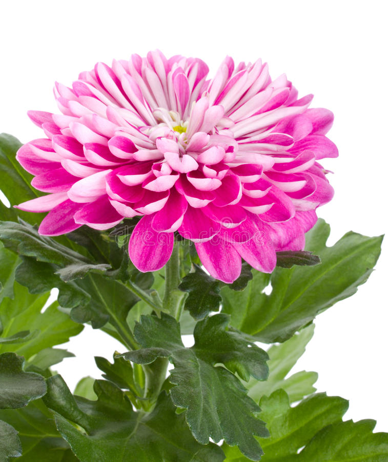 Fleur rose de chrysanthemum photos libres de droits
