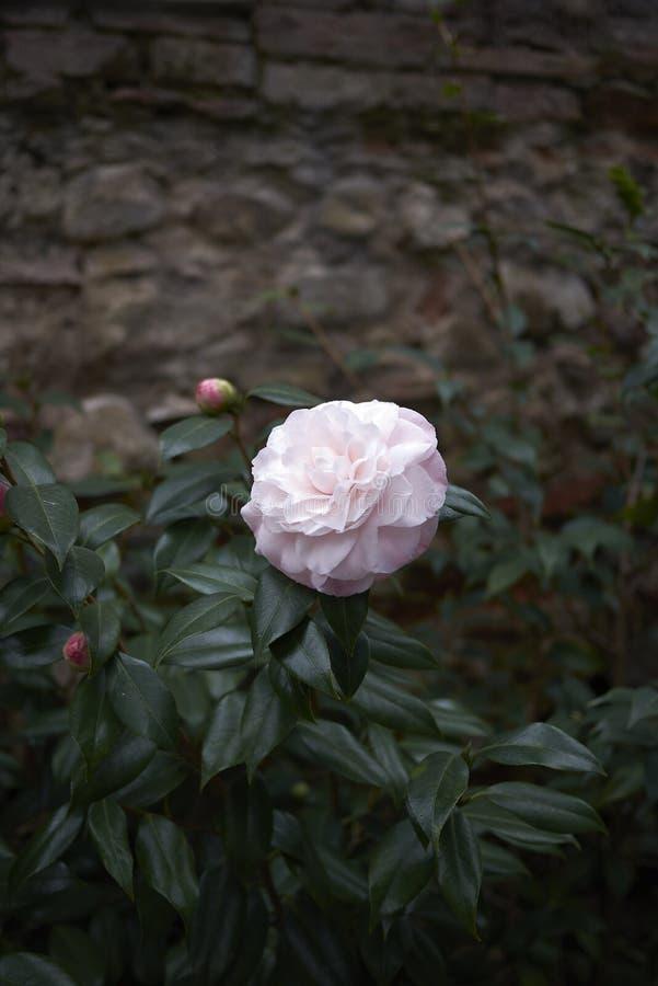Fleur rose de cognassier du Japon de camélia image stock