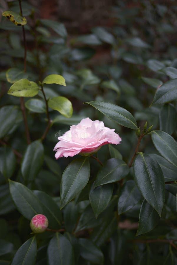 Fleur rose de cognassier du Japon de camélia photographie stock