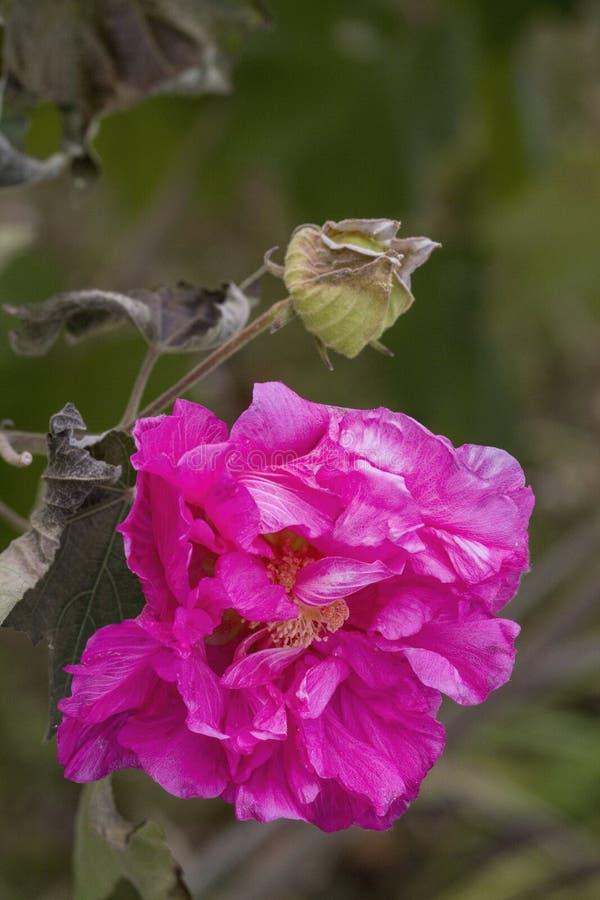Fleur rose de Rose conf?d?r?e - mutablis de ketmie image libre de droits