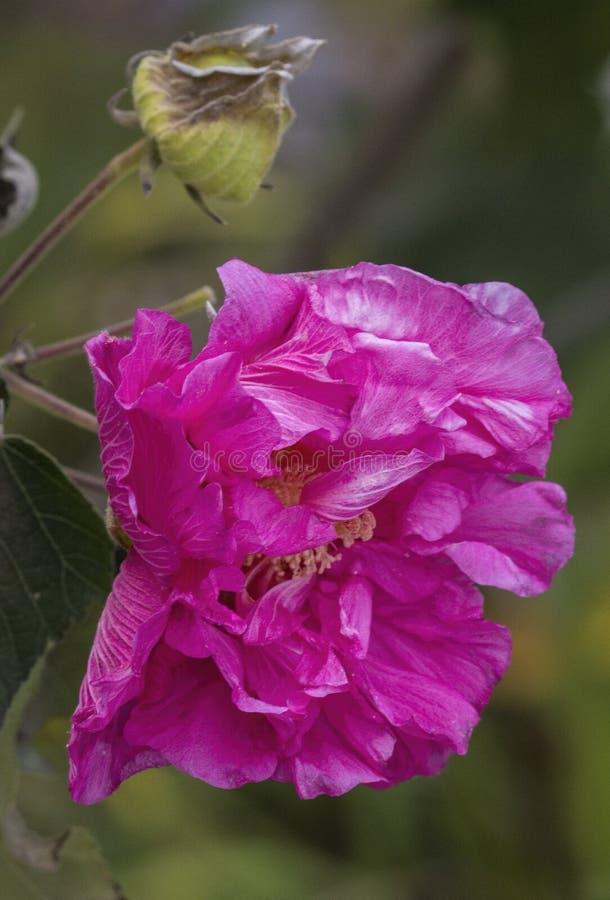 Fleur rose de Rose conf?d?r?e - mutablis de ketmie image stock
