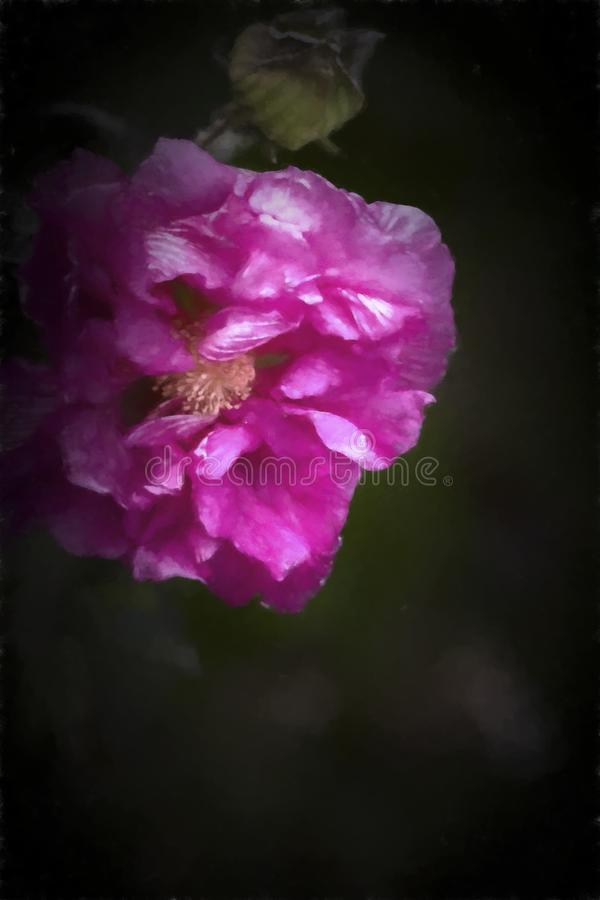Fleur rose de Rose conf?d?r?e - mutablis de ketmie photo stock