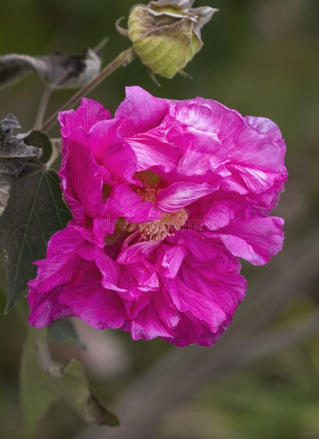 Fleur rose de Rose conf?d?r?e - mutablis de ketmie photos stock