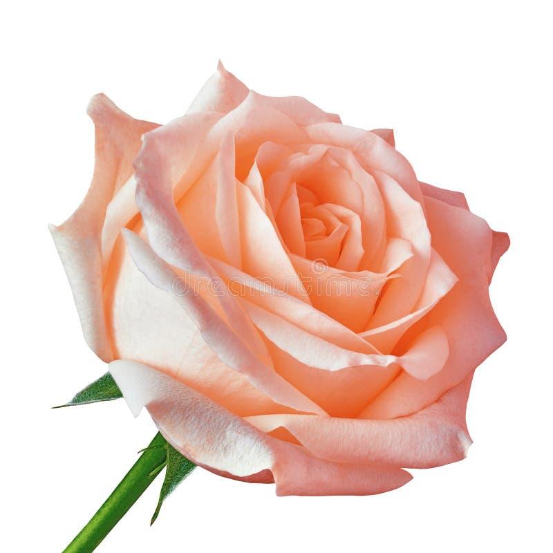 Fleur rose de corail d'isolement sur un fond blanc Plan rapproché images stock