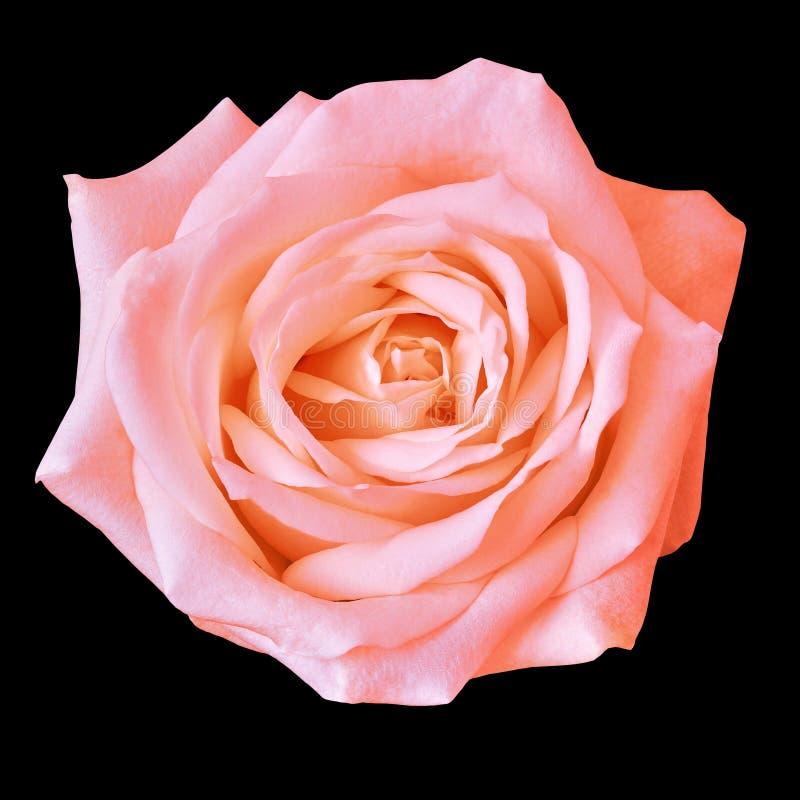 Fleur rose de corail d'isolement sur un fond noir closeup images libres de droits