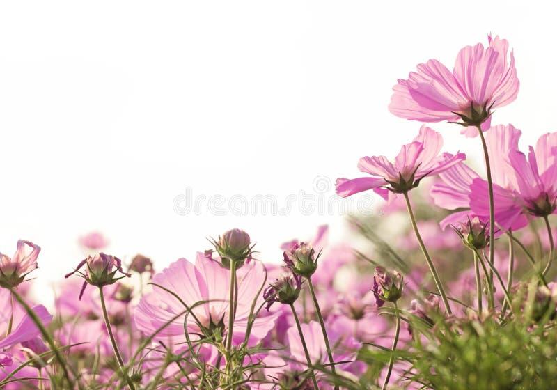Fleur rose de cosmos image libre de droits