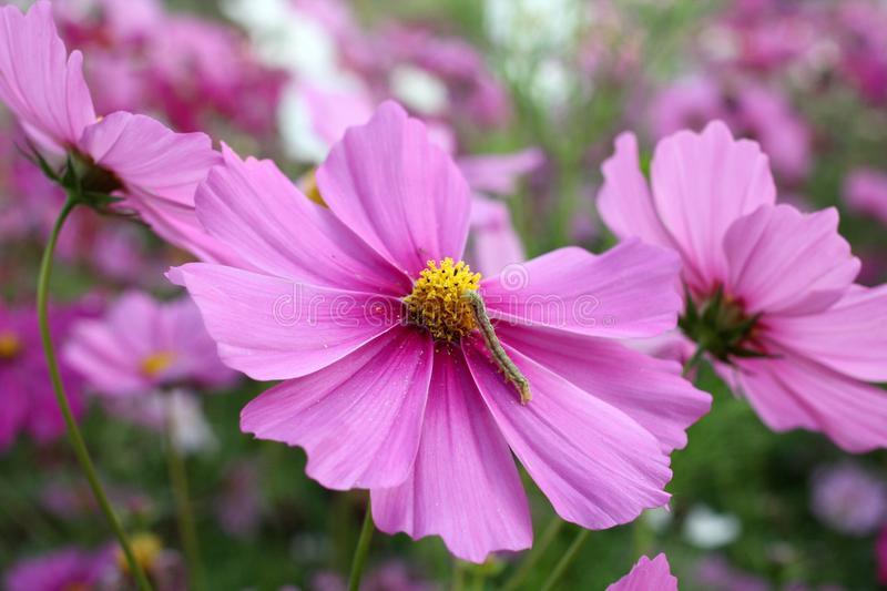 Fleur rose de cosmos photo stock