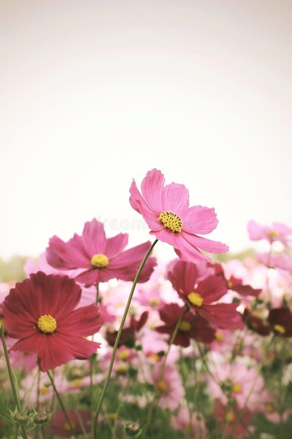 Fleur rose de cosmos photographie stock libre de droits