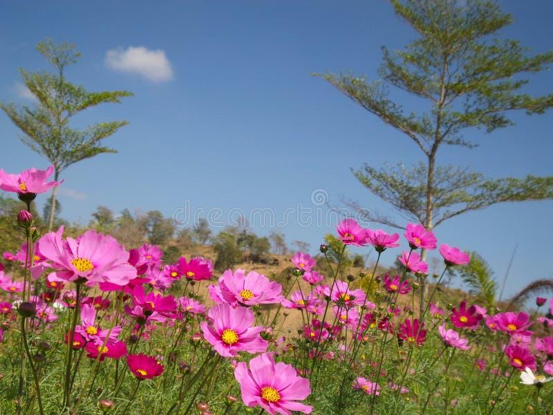 Fleur rose de cosmos images libres de droits