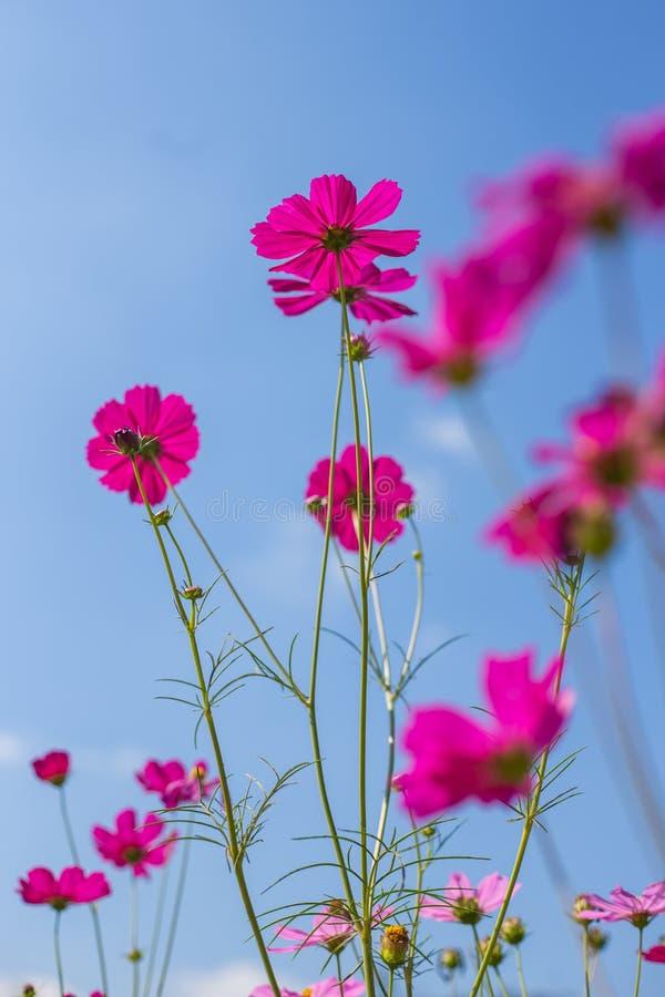 Fleur rose de cosmos photos libres de droits