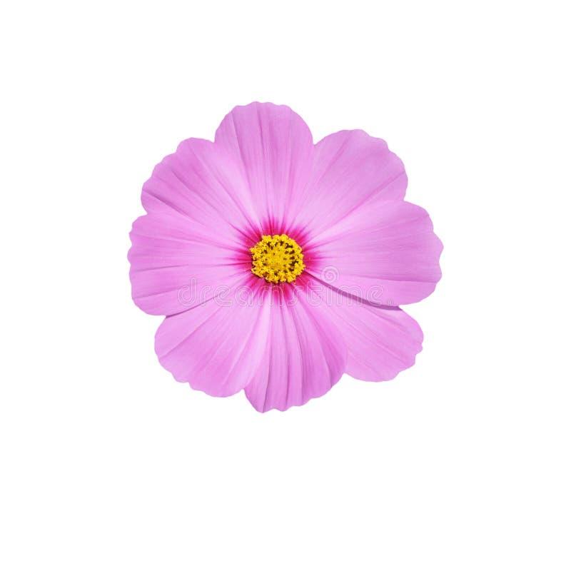 Fleur rose de cosmos d'isolat images libres de droits