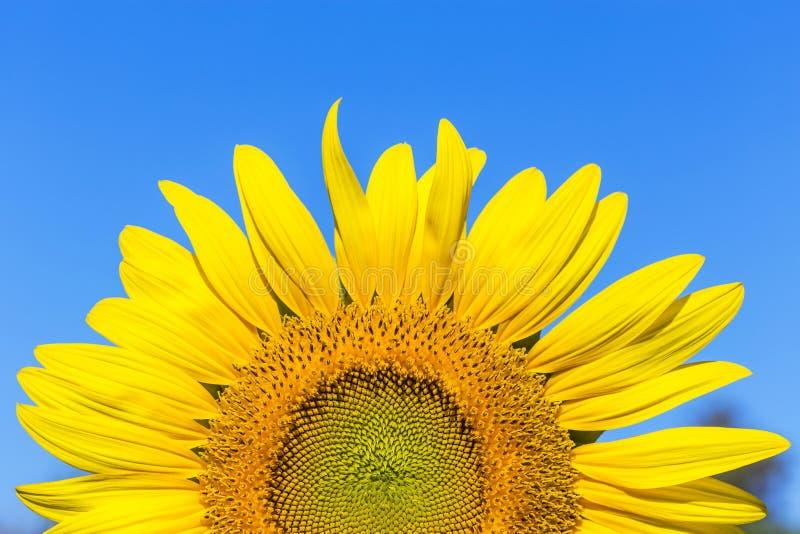 Fleur rose de cosmos fleurissant sur le fond de ciel bleu photographie stock libre de droits