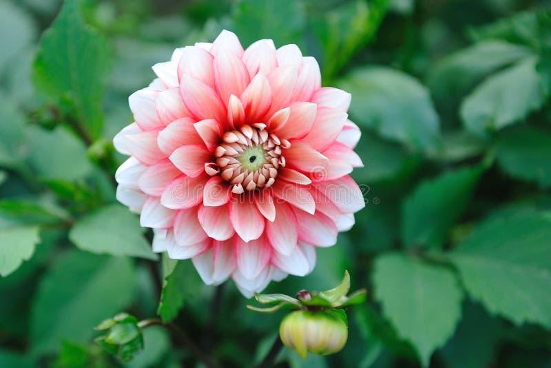 Fleur rose de dahila image stock