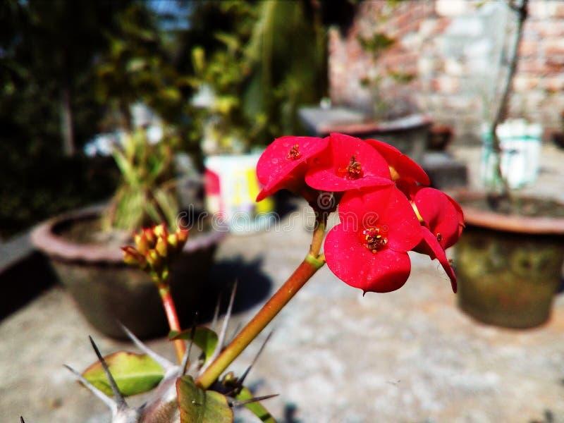 Fleur rose de floraison de cactus de couleur avec le fond naturel photographie stock