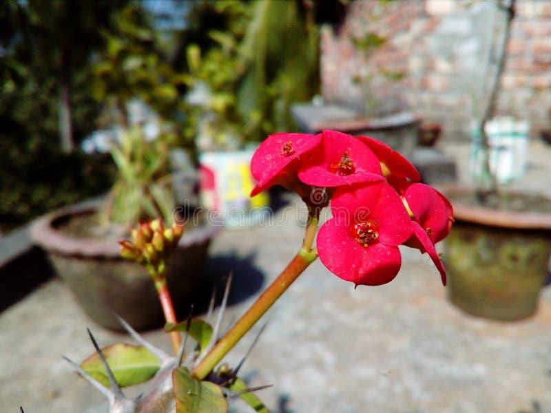 Fleur rose de floraison de cactus de couleur avec le fond naturel image stock