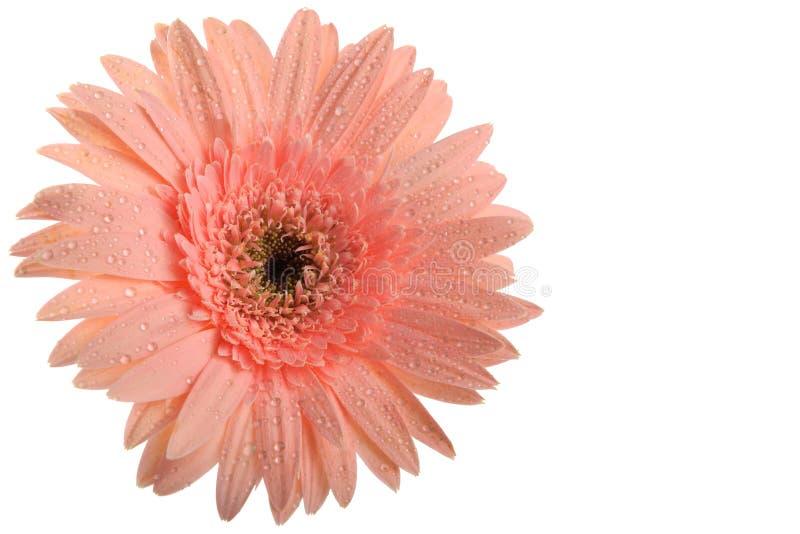 Fleur rose de Gerbera images stock