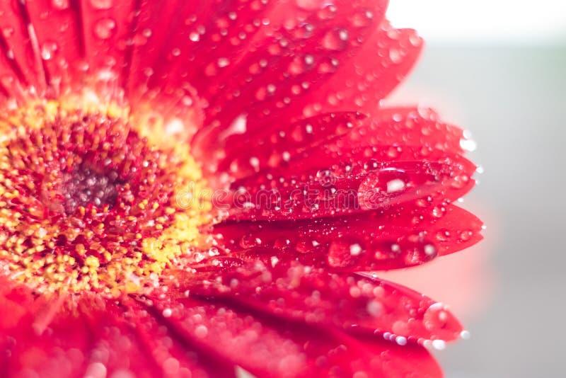 Fleur rose de gerbera avec la baisse de l'eau étroitement  images stock