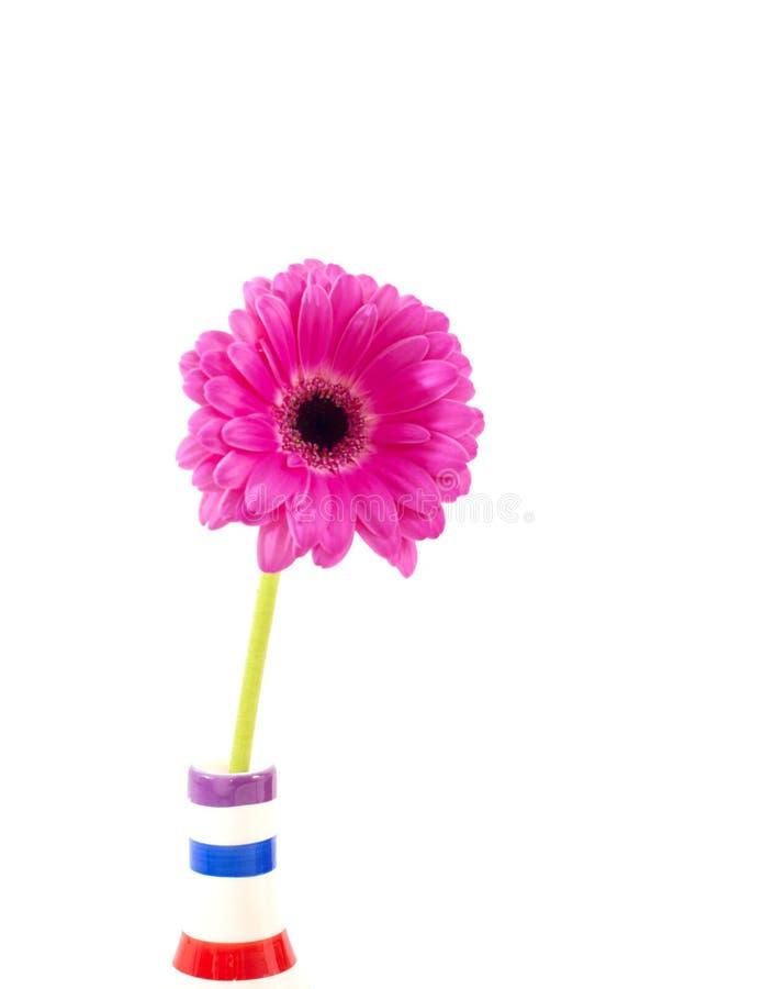 Fleur rose de gerbera dans un vase d'isolement au-dessus du blanc photo stock