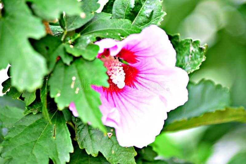 Fleur rose de gloire de matin photographie stock libre de droits