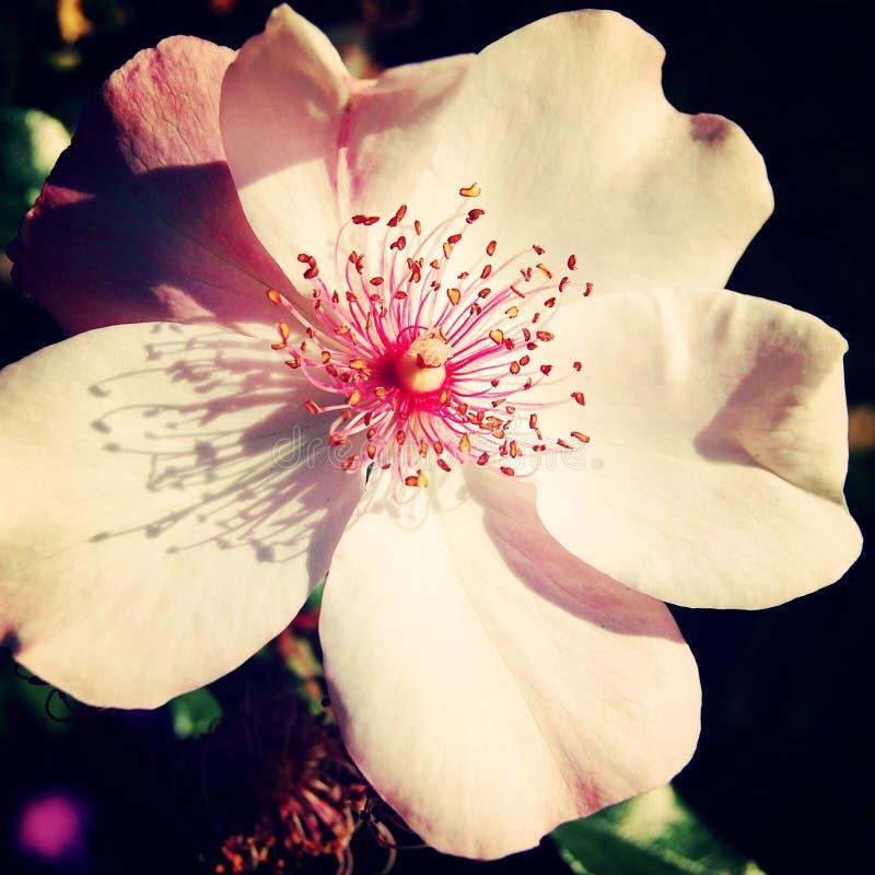 Fleur rose de hanche rose en parc de Gorki - rétro filtre image libre de droits