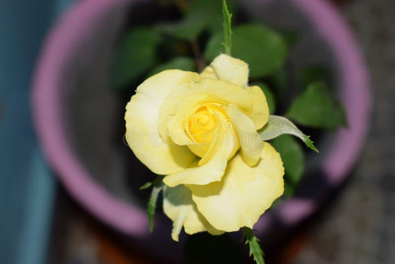 Fleur rose de jaune photo libre de droits