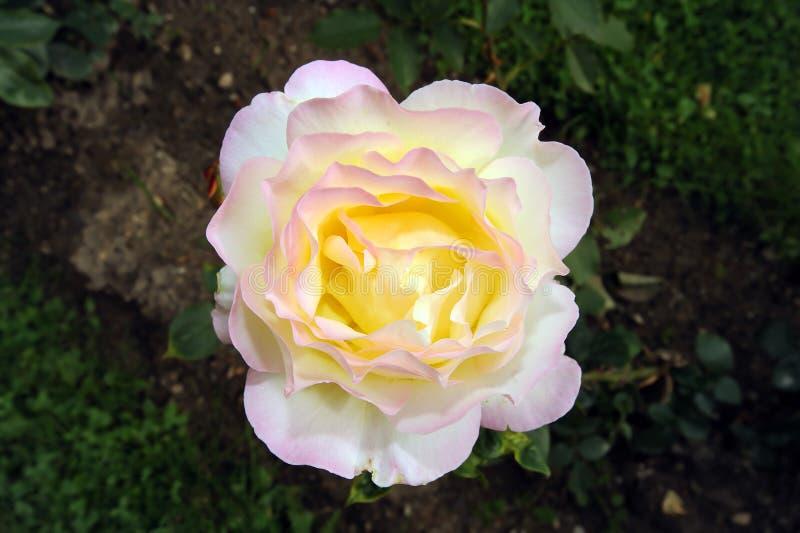 Fleur rose de jaune photographie stock libre de droits