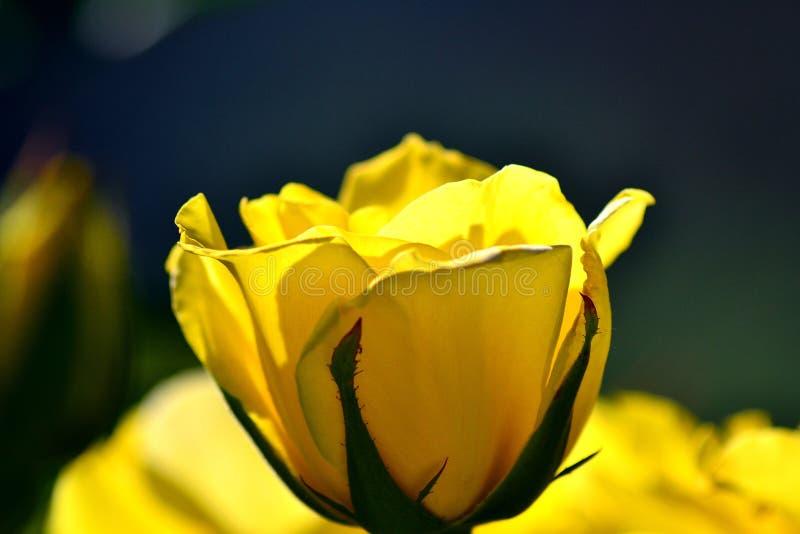 Fleur, rose de jaune photo stock