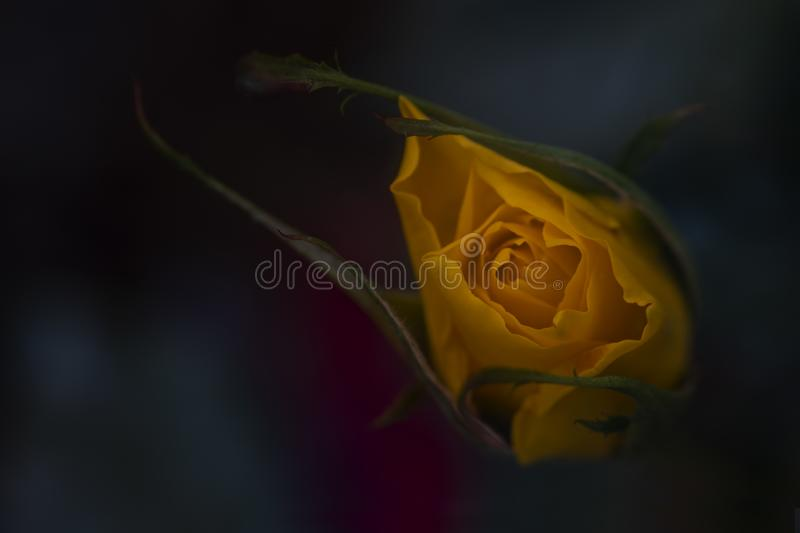 Fleur rose de jaune image libre de droits