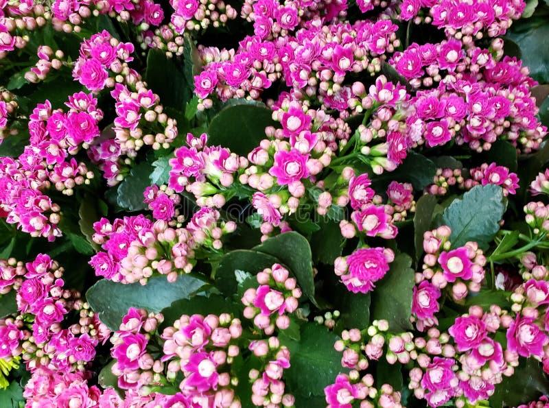 fleur rose de kalanchoe à un jardin, à un arrière-plan et à une texture photo libre de droits